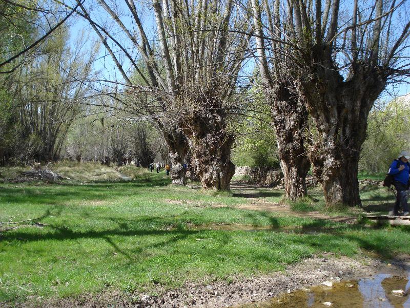 Chopos cabeceros en la orilla del Guadalope
